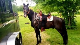 Black Tennessee Walker in Richfield, WI