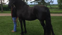 Black Friesian Cross in Clearbrook, MN