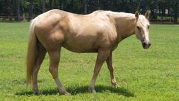 Palomino Quarter Horse in WILLS POINT, TX