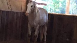 Silver Dapple Quarter Horse in Chunky, MS