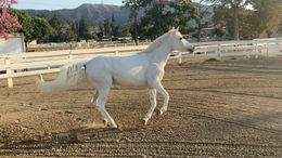 Grey Welsh Cob in Burbank, CA