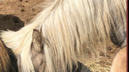 Grulla Shetland Pony in Fairplay, CO