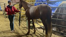 Chestnut Arabian in Sheridan, OR