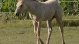 Buckskin Quarter Horse in Nevada, IA