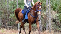 Chestnut Arabian in Jacksonville, FL