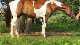 Chestnut Paint (Tobiano) in Elkton, MD