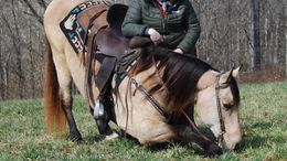Buckskin Kentucky Mountain Saddle Horse in Mount Vernon, KY