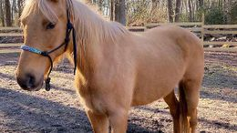 Palomino Missouri Fox Trotting Horse in FELTON, DE