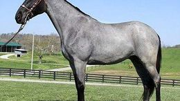 Roan Tennessee Walker in charleston, WV