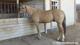 Palomino Quarter Horse in Dallas, TX