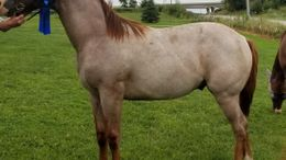 Roan Quarter Horse in Knoxville, IA