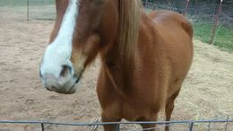 Chestnut Arabian in Vinita, OK