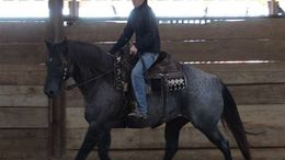 Roan Quarter Horse in Greensboro, NC