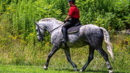 Silver Dapple Percheron in WORTHINGTON, MA