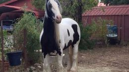 White Gypsy Vanner in Alexandria, OH