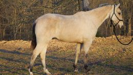 Buckskin Tennessee Walker in Portland, ME