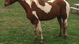 Chestnut Tennessee Walker in Cleveland, MO