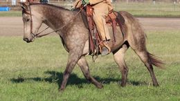 Buckskin Quarter Horse in Nashville, TN