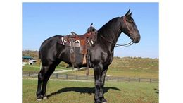 Black Friesian in Mount Vernon, KY