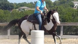 Pinto Paint (Tobiano) in Dallas, TX
