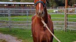 Chestnut American Saddlebred in Lakeland, FL