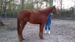 Chestnut Thoroughbred in CARRIERE, MS