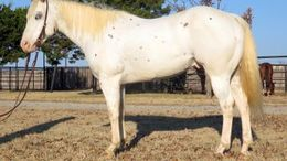 Chestnut Appaloosa in Weatherford, TX
