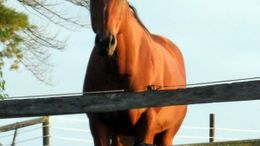 Bay Quarter Horse in Dundee, OH