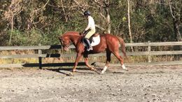 Chestnut Thoroughbred in Tryon, NC