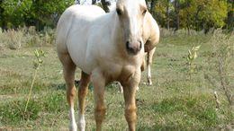 Palomino Quarter Horse in Bismarck, ND