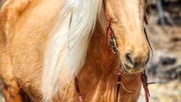 Palomino Quarter Horse in Stephenville, TX
