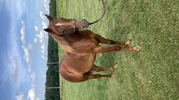 Sorrel Quarter Horse in Seymour, MO