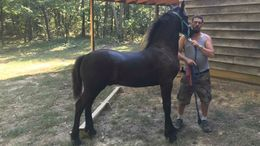 Black Friesian in Ider, AL