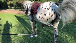 White Appaloosa in Monroe Township, NJ