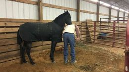 Roan Tennessee Walker in Dallas, TX