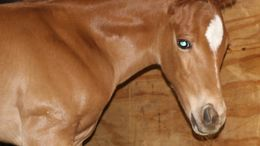 Chestnut Quarter Horse in Ripon, WI