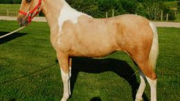 Palomino Tennessee Walker in Jeffersonville, KY