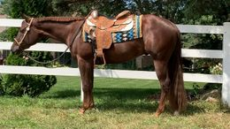 Chestnut Quarter Horse in Grand Blanc, MI