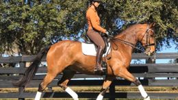Bay Dutch Warmblood in Summerfield, FL