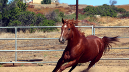 Chestnut Quarter Horse in hemet, CA