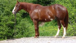 Sorrel Quarter Horse in Raleigh, NC