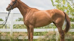 Chestnut Thoroughbred in Commerce Township, MI