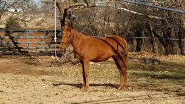 Sorrel Quarter Horse in NEWCASTLE, OK