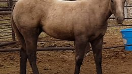 Palomino Foundation Quarter Horse in Hope, NM