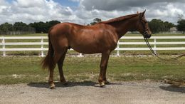 Chestnut Thoroughbred in Indiantown, FL