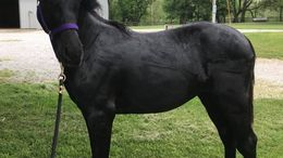 Black American Warmblood in Cambridge, IA