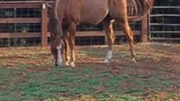 Sorrel Appendix Quarter Horse in Salem, OR