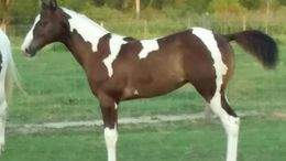 Black Paint (Tobiano) in Bonifay, FL