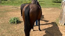 Bay Tennessee Walker in Oklahoma City, OK