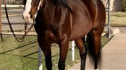 Bay Quarter Horse in Astoria, Long Is City, Long Island City, NY